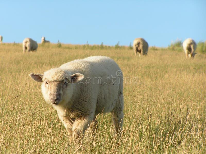 Exploração agrícola e carneiros de Nova Zelândia imagem de stock royalty free