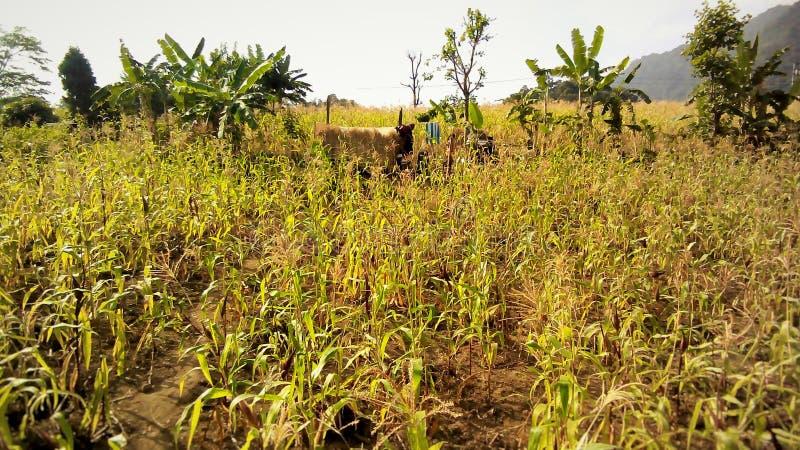 Exploração agrícola e gado imagem de stock royalty free