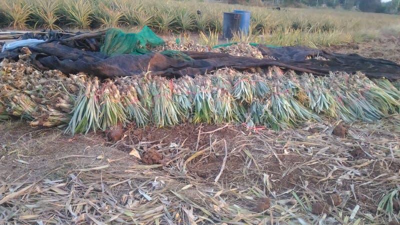 Exploração agrícola fresca Chaiyaphum Tailândia do abacaxi fotografia de stock royalty free
