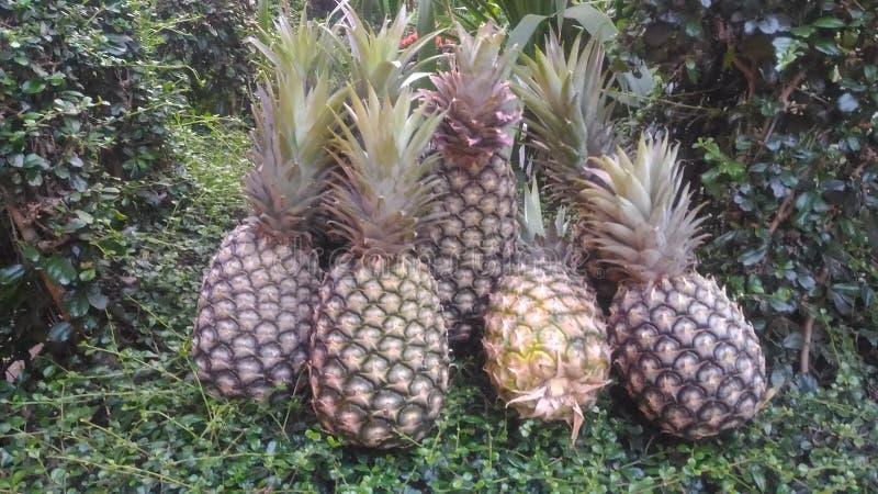 Exploração agrícola fresca Chaiyaphum Tailândia do abacaxi foto de stock royalty free
