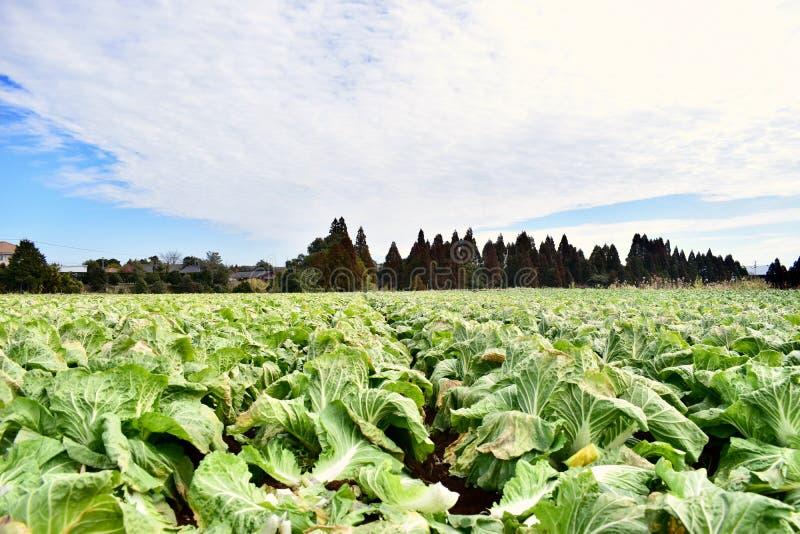 Exploração agrícola grande da couve em Japão Kagoshima fotografia de stock
