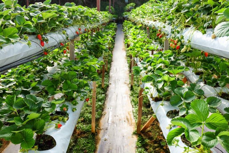 Exploração agrícola interna interna da morango fotos de stock royalty free