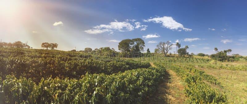 Exploração agrícola - luz solar no campo da plantação de café foto de stock