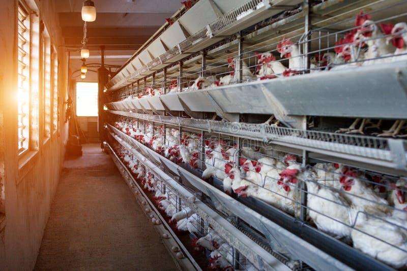 Exploração agrícola moderna para galinhas crescentes para galinhas, sol, exploração avícola, fábrica imagem de stock