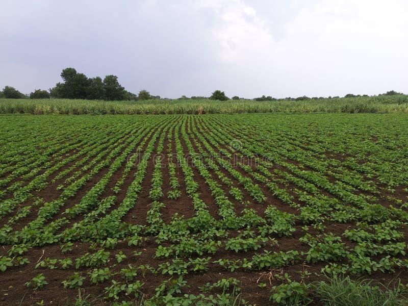 Exploração agrícola no cultivo indiano da cultura foto de stock