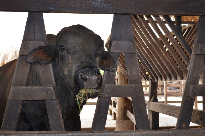 Exploração agrícola preta do un da vaca fotos de stock