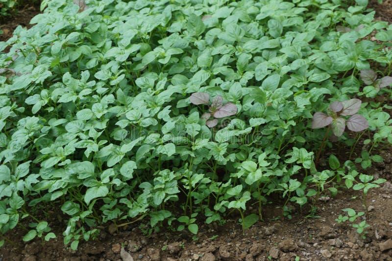 Exploração agrícola tradicional do jardim dos espinafres na vila de Javenese imagens de stock