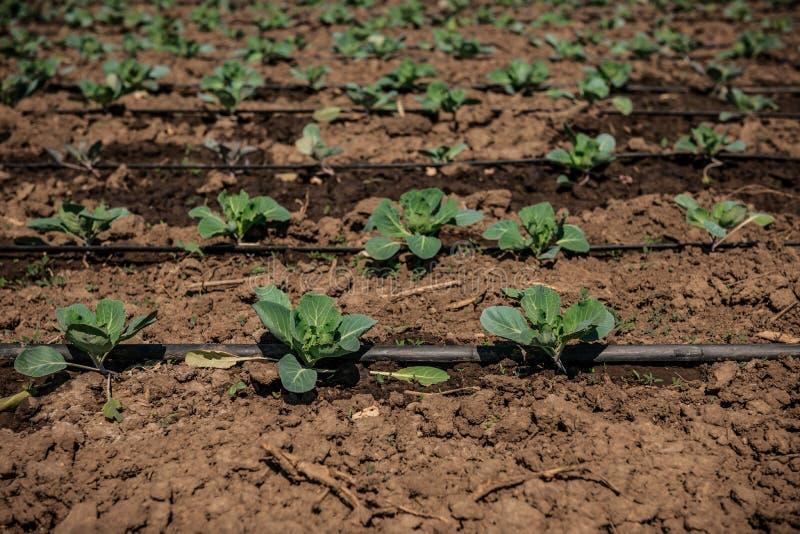 Exploração agrícola vegetal do campo da couve fotografia de stock royalty free