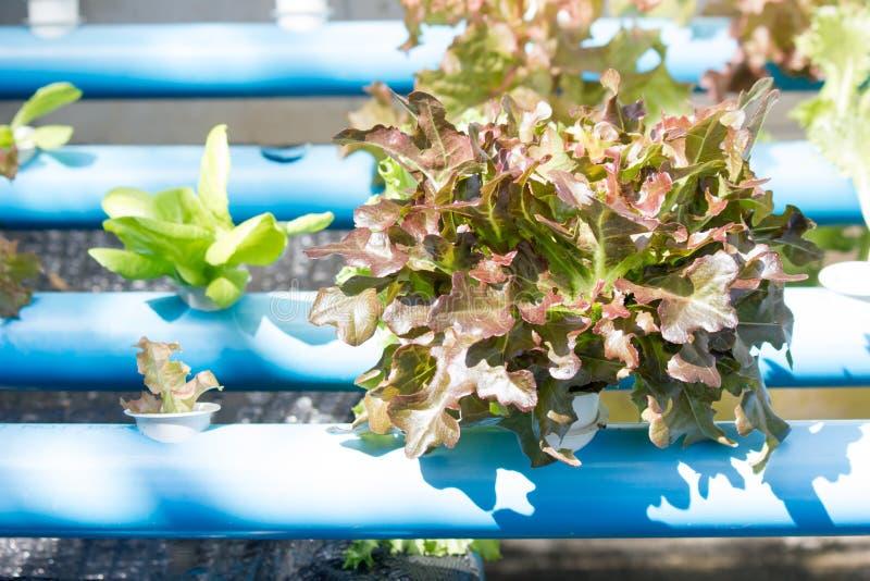 Exploração agrícola vegetal hidropônica orgânica do cultivo imagem de stock