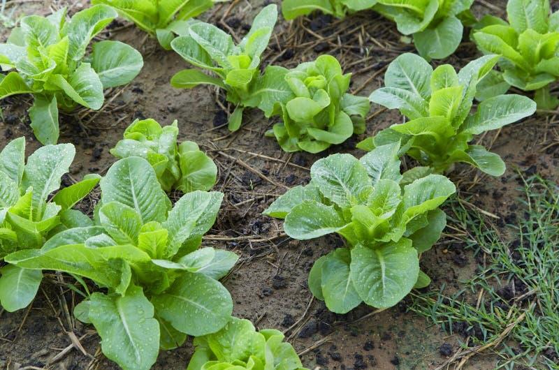 Exploração agrícola vegetal orgânica em Tailândia foto de stock