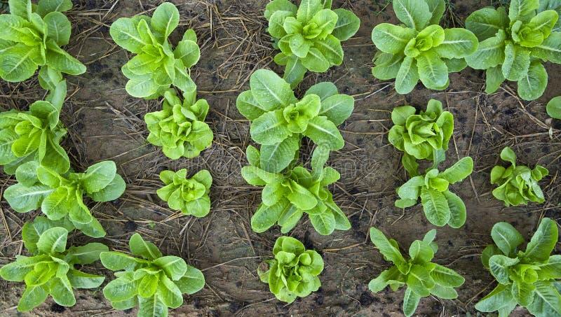Exploração agrícola vegetal orgânica em Tailândia fotos de stock