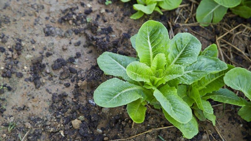 Exploração agrícola vegetal orgânica em Tailândia imagem de stock