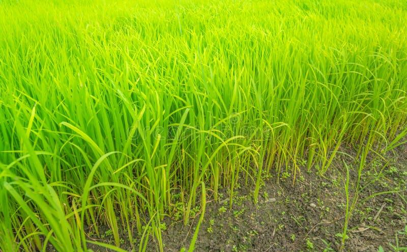 Exploração agrícola verde do arroz, campo de Tailândia imagens de stock