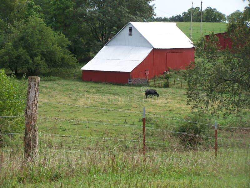 Exploração agrícola vermelha clássica americana do celeiro com vaca fotografia de stock