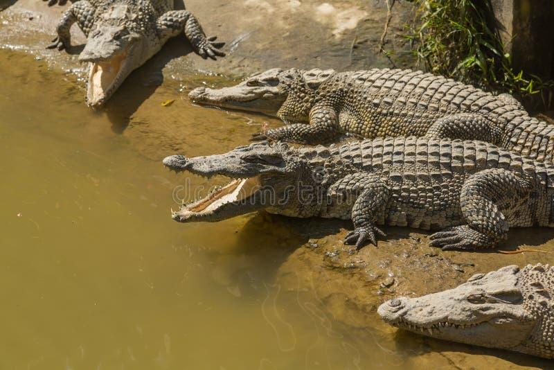 Exploração agrícola Vietname do crocodilo imagens de stock royalty free