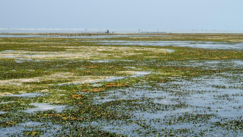 Exploração agrícola Zanzibar da alga, Tanzânia - em fevereiro de 2019 fotografia de stock