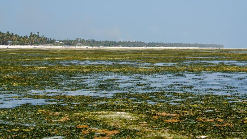 Exploração agrícola Zanzibar da alga, Tanzânia - em fevereiro de 2019 foto de stock royalty free