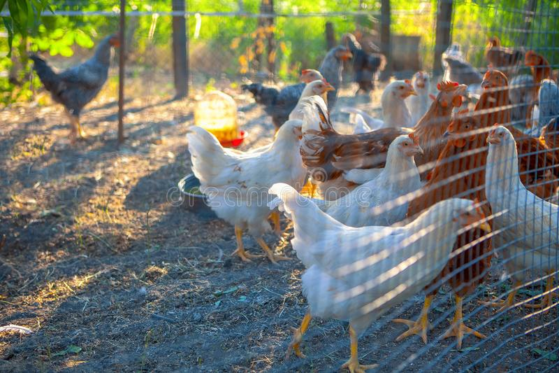 Exploração avícola foto de stock royalty free