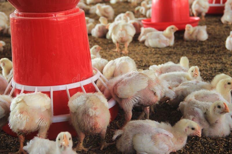 Exploração avícola fotografia de stock royalty free