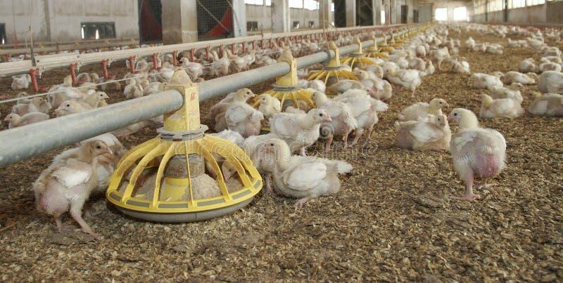 Exploração avícola em mallorca largamente imagem de stock