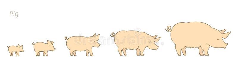 Explora??o agr?cola de porco Produzindo o grupo dos porcos Fases do crescimento do porco Produção da carne de porco Criac?o de ga ilustração stock