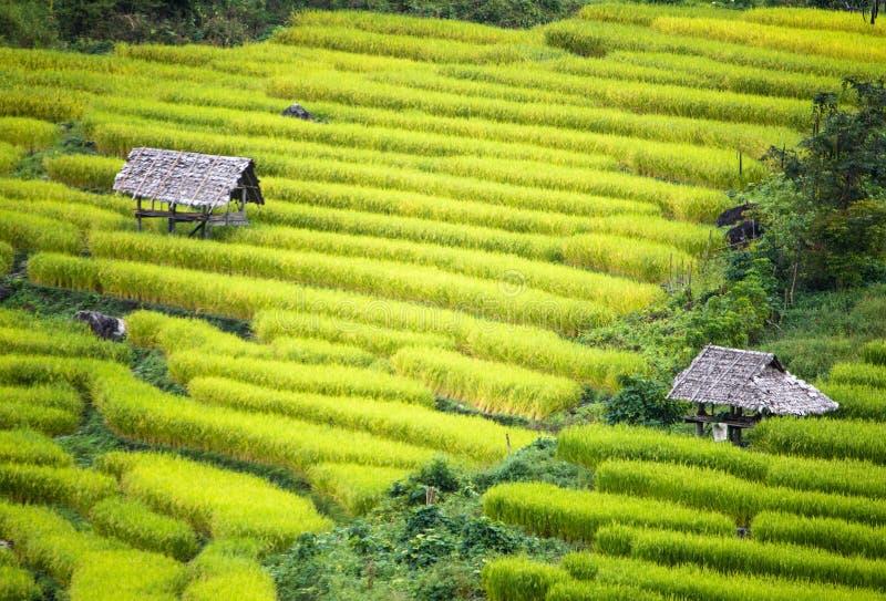 Explora??o agr?cola do arroz do terra?o fotos de stock