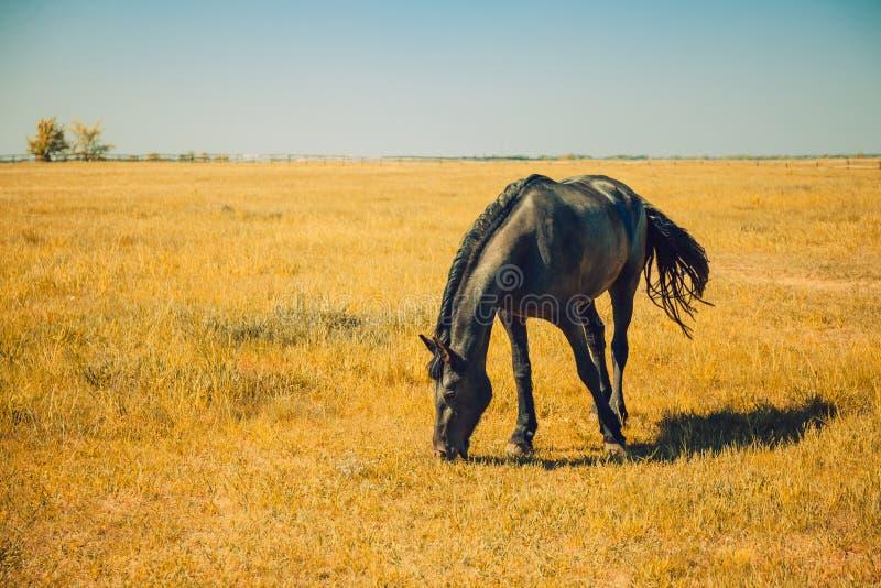 Explora??o agr?cola do cavalo da ra?a, rebanho equestre fotografia de stock