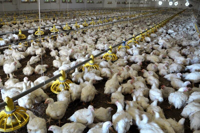 Explora??o agr?cola para galinhas de grelha crescentes fotografia de stock royalty free