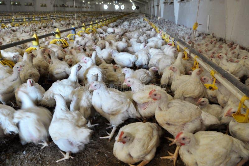 Explora??o agr?cola para galinhas de grelha crescentes foto de stock