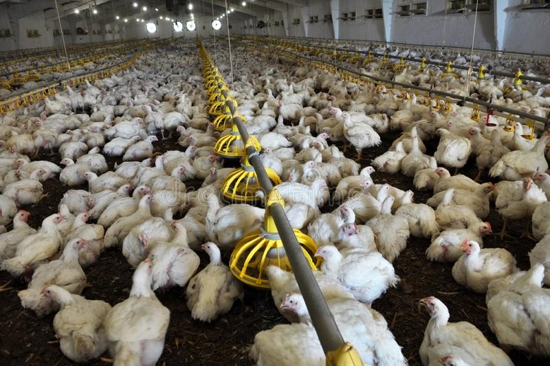 Explora??o agr?cola para galinhas de grelha crescentes foto de stock royalty free