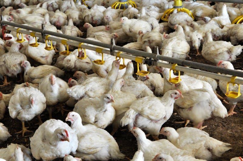 Explora??o agr?cola para galinhas de grelha crescentes imagens de stock royalty free