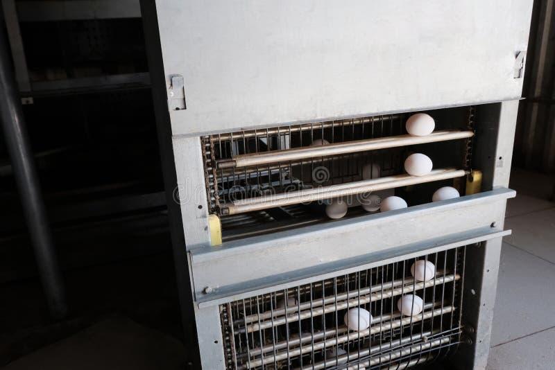 Explora??o av?cola Linha de produ??o industrial do ovo Equipamento moderno para o transporte dos ovos brancos Elevador automático fotos de stock royalty free