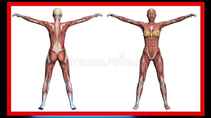 Exploración De La Anatomía Humana, Músculos Femeninos Hechos En El ...