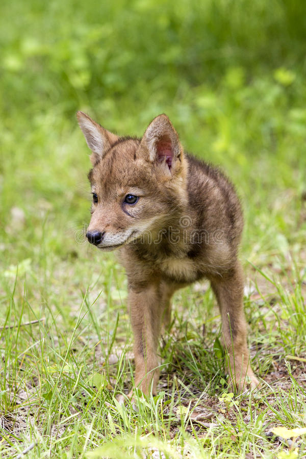 Exploration by young coyote pup. Young coyote pup exploring the world around his den site royalty free stock images