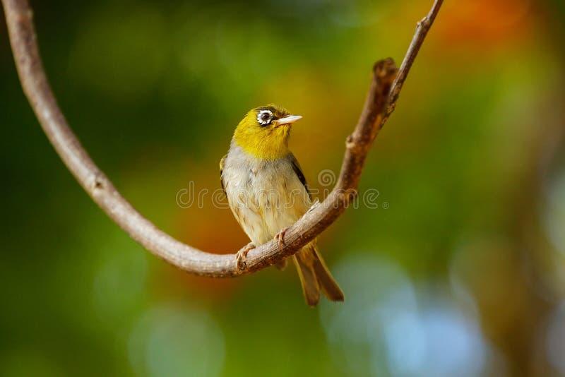 Explorator Zosterops бело-глаза Фиджи сидя на ветви дерева стоковая фотография