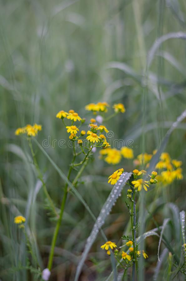 Yellow wildflowers among tall green grasses. Night rain drops on the leaves and stems. Selective focus. stock photography