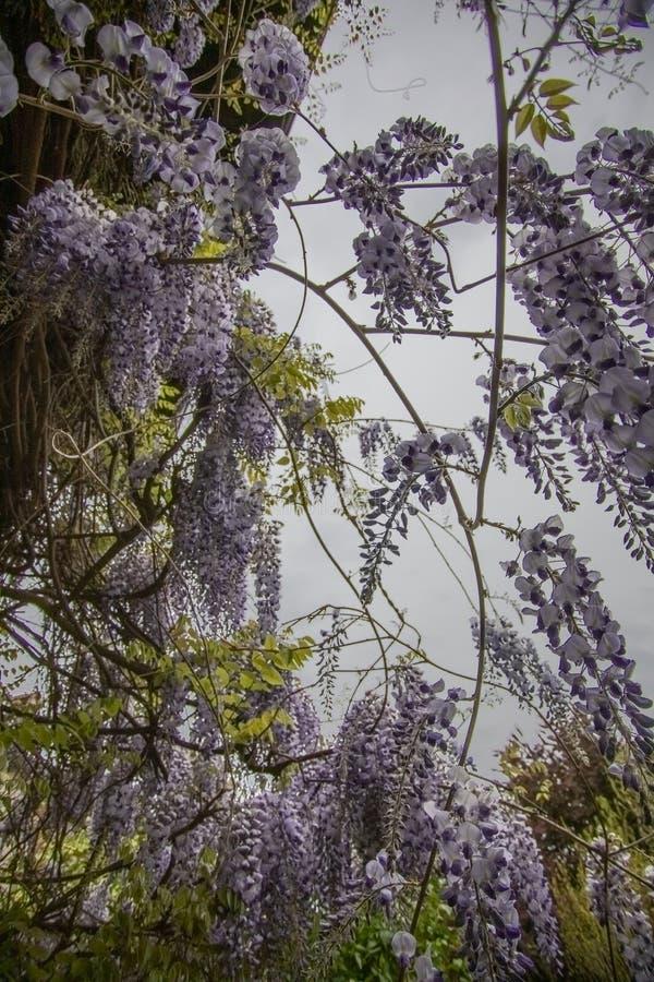 Explosión de flores de glicinia foto de archivo libre de regalías