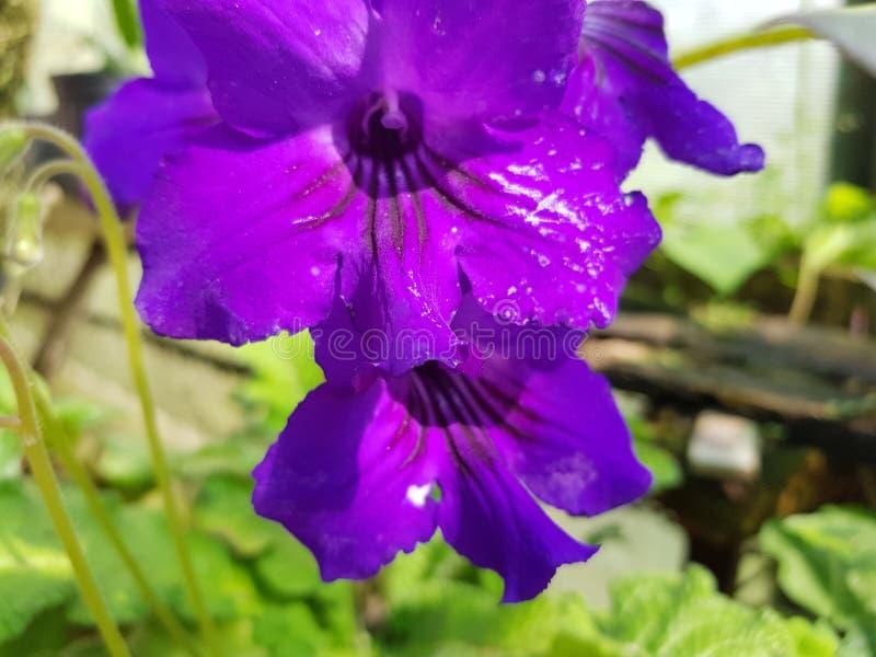 Explosie van purple stock afbeelding