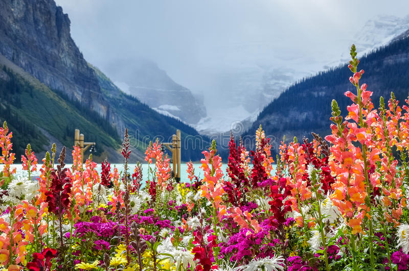 Explosion of color at Lake Louise. Colorful flowers with the glacier and Lake Louise in the background at Lake Louise, Banf National Park, Alberta, Canada royalty free stock image