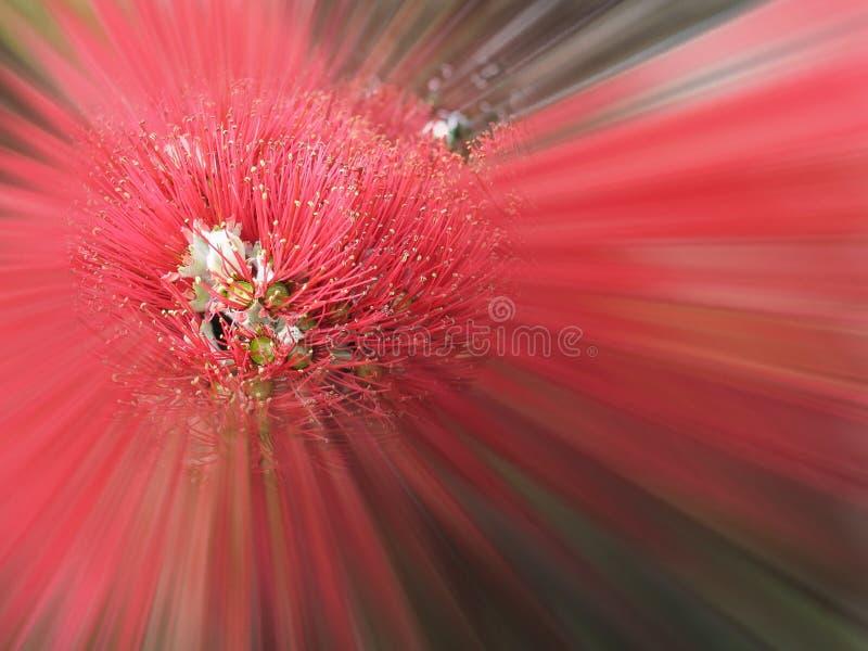 Explosion de Pohutukawa photo stock