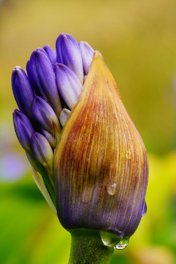Explosion of a flower. A purple flower just exploding out of the bud in macro stock image