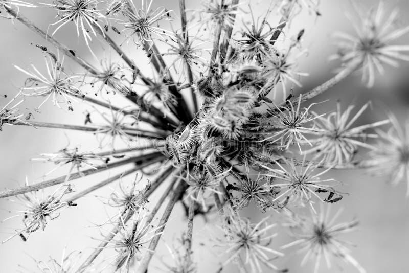 Explosion noire et blanche de fleur de prairie photographie stock