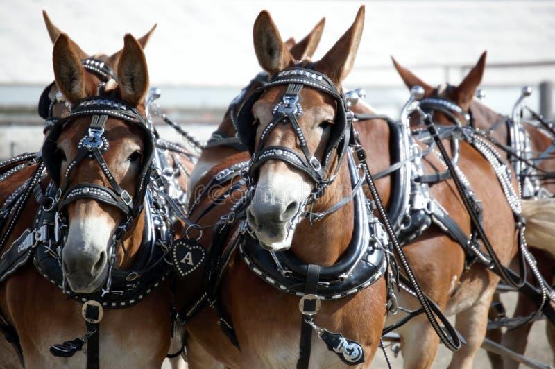 expo 2013 do cavalo em Montana imagens de stock royalty free