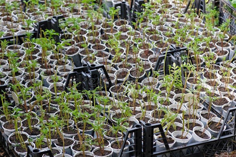 Exponeringsglas med plantor i växthuset Vita plast- koppar och små växter i dem royaltyfria foton