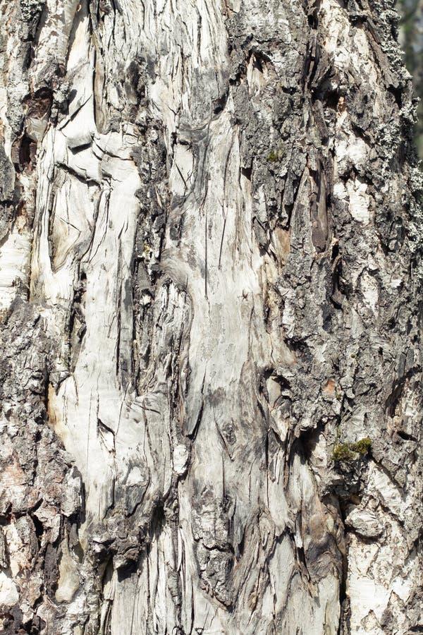 Expos? introductif de texture d'?corce de bouleau ?corce d'arbre de bouleau blanc image libre de droits