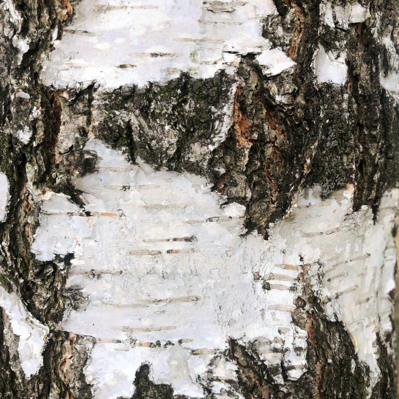 Expos? introductif de texture d'?corce de bouleau photos libres de droits