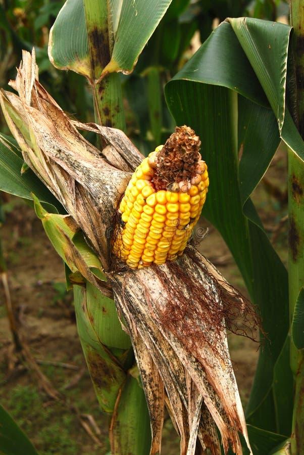 Exposed Peeled Back Corn On A Stalk Stock Image