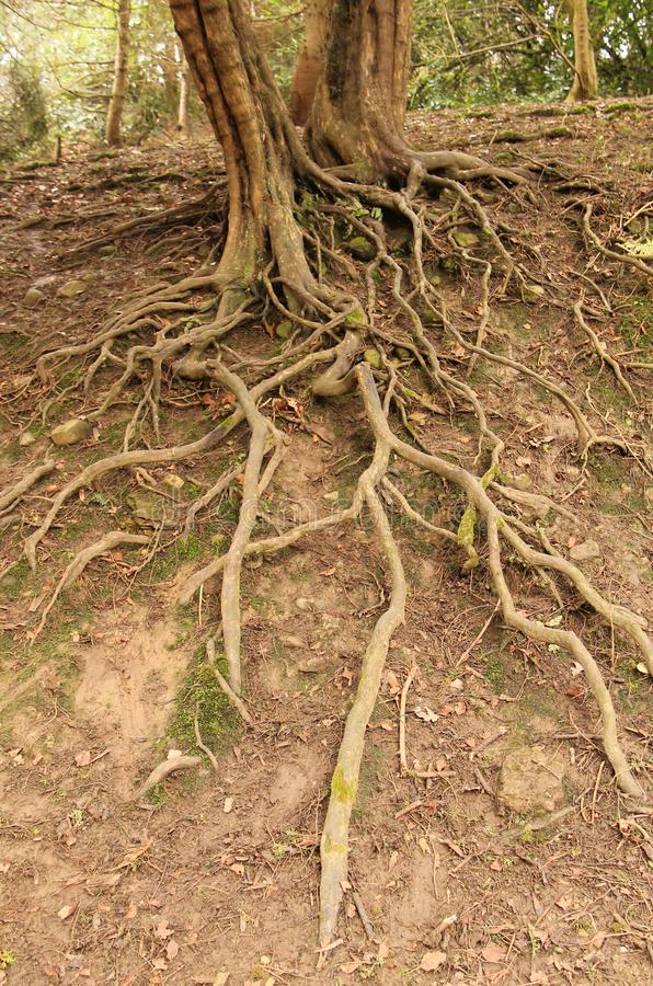 Exposed Roots of a Tree. The Exposed Roots of a Tree on an Eroded Earth Bank stock photo