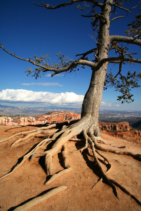Exposed Roots Tree at Rim of Bryce Canyon royalty free stock image
