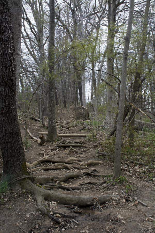 Root covered hiking trail royalty free stock photo